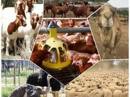 Livestock, ox gallstone and ostrich chicks