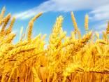 Пшеница, 2-й, 3-й класс, фураж FOB - photo 1