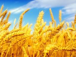 Пшеница, 2-й, 3-й класс, фураж FOB