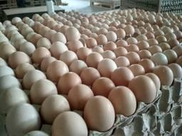 Яйце инкубационное ROSS-308 от производителя